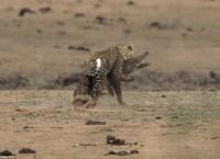 クルーガーで初の「ワニを襲う豹」の撮影写真を賞賛