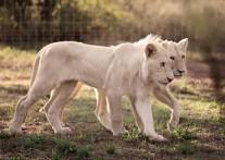 世界中のセレブリティも訪れる ライオンパーク