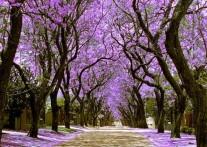 ジャカランダ・シティの愛称で知られる南アフリカの首都 行政と歴史の街、プレトリア