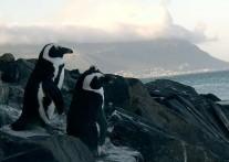 ボルダーズビーチのペンギンたち