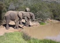 野生ゾウの保護と繁殖活動の成功例を示す アッド・エレファント国立公園