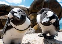 ペンギンに出会えるボルダーズビーチ