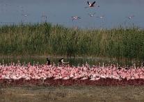 辺り一面をピンクに染める フラミンゴの大群 in キンバリー