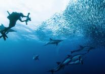 地球上で最も壮大な海中スペクタクル!</br> イワシの大群「サーディンラン」